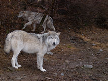 Wolf Pair on patrol Stock Photo