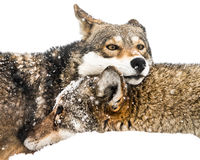 Wolf Pair rosso in neve Immagine Stock