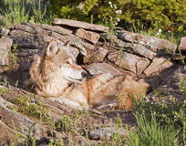 Wolf parent and den. The female adult wolf is waiting for her young puppies to return to the limestone ledge den Stock Photo