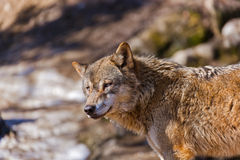 Wolf in park Stock Photography