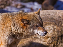 Wolf in park Royalty Free Stock Images