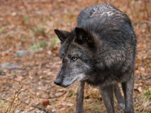 Wolf on patrol. A Wolf patrols its territory royalty free stock photo