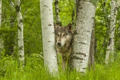 Wolf Peeking Through Birches fotos de stock