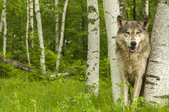 Wolf Peeking Through Birches foto de stock
