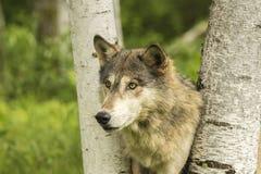 Wolf Peeking Through Birches foto de stock royalty free