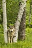 Wolf Peering Through Birches Lizenzfreies Stockbild