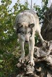 Wolf. Photo of  grey wolf stalking prey Royalty Free Stock Image