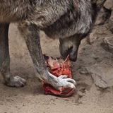 Wolf with a piece of meat Stock Images