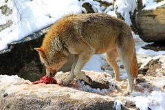 A Wolf with a piece of meat Stock Images