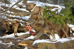 A Wolf with a piece of meat Stock Photo