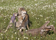 Wolf with Playful Pups in Wildflowers Stock Photo