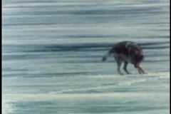 Wolf playing on ice in Alaska stock video