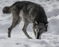 Wolf playing in the snow. This photo was created in February 2018 in Montana ,USA stock photo
