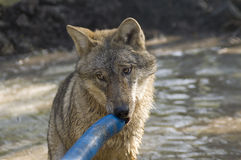 Wolf plays with a tube. A young European wolf (Canis lupus lupus Royalty Free Stock Photos