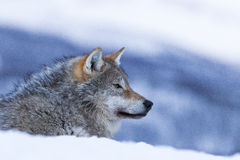 Wolf. In polar park in Troms, Norway Stock Photography
