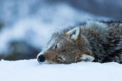 Wolf. In polar park in Troms, Norway Royalty Free Stock Images