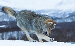 Wolf. In polar park in Troms, Norway royalty free stock photography