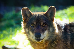 Wolf portait Royalty Free Stock Photo