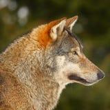Wolf portait shot Stock Image