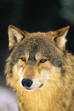 Wolf-Portrait Stockfoto