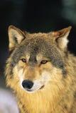 Wolf Portrait. Beautiful close up portrait of a gray wolf Stock Photo