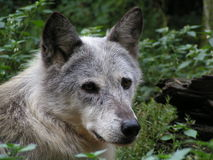 Wolf portrait. Ths portrait was captured in a small animal park in germany Royalty Free Stock Images