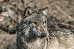 Wolf portrait. A wolf portrait Royalty Free Stock Image