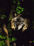 Wolf Portrait. Portrait of a gray wolf peering out from the shadows Stock Photos