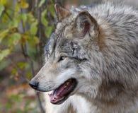 Wolf portrait Stock Photography