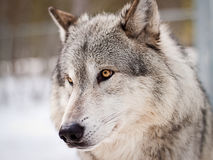 Wolf portrait. Large  adult male wolf posing for portrait Stock Photos