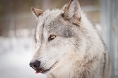 Wolf portrait. Adult male wolf with yellow eyes, portrait picture Royalty Free Stock Photos