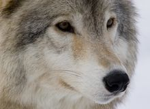 Wolf portrait. Wolf in winter near Montreal Stock Image