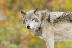 Wolf portrait in autumn Royalty Free Stock Photos