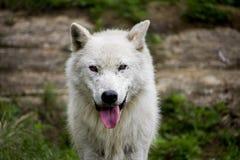 Wolf Portrait blanco Imagen de archivo libre de regalías