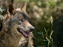 Wolf portrait  (Canis lupus signatus) in the bushes in summer Royalty Free Stock Photo