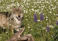 Wolf Portrait i vildblommor Arkivfoto
