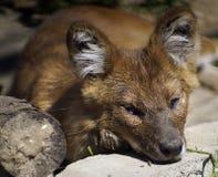 Wolf Portrait rosso Fotografia Stock Libera da Diritti