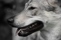 Almost wolf stock photography