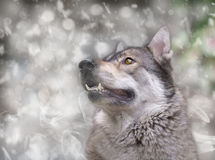 Wolf. Royalty Free Stock Image