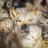 Wolf Portrait in Sunny Day. Photo of the Wolf Portrait in Sunny Day Stock Image