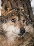 Wolf portrait under the snow Royalty Free Stock Photography
