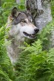 Wolf Portrait vertical dans les fougères vertes Images libres de droits