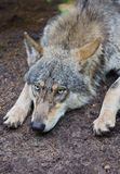 Wolf portrait. Wild animal face Royalty Free Stock Image