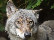 Wolf portrait. Wild animal face Stock Images