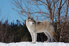 Wolf posing Stock Image