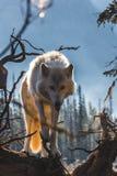 Wolf Posing op Logboek stock foto's