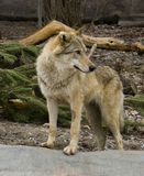 Wolf. Predator  bag   canines forest steppe Stock Photos
