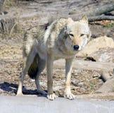 Wolf predator mammal symbol pack canines. Skin lair tundra mythology royalty free stock image