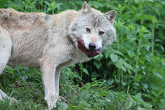 Wolf with prey Royalty Free Stock Photography