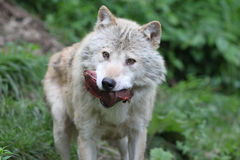 Wolf with prey Stock Photo